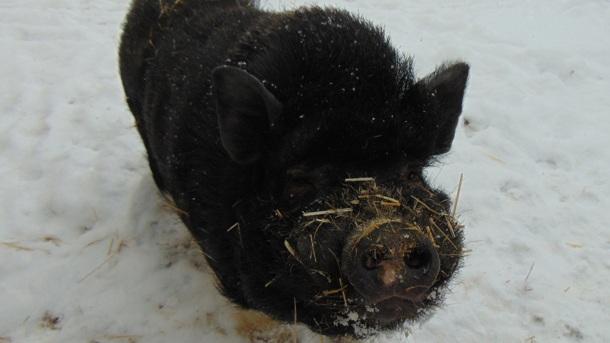 """""""Sauwohl"""" - Neugestaltung des Schweinegeheges"""