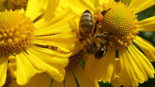 Bienen an der Grundschule Sohland